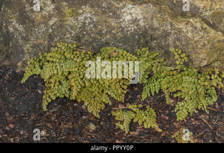 Evergreen Maidenhair fern, Adiantum venustum, from Himalayas and China. In cultivation. - Stock Photo