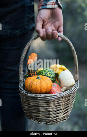 closeup of a young caucasian man, seen from behind, carrying a worn wicker basket with an assortment of different pumpkins in a farm - Stock Photo
