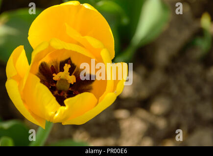 one yellow Tulip closeup on blurred background - Stock Photo