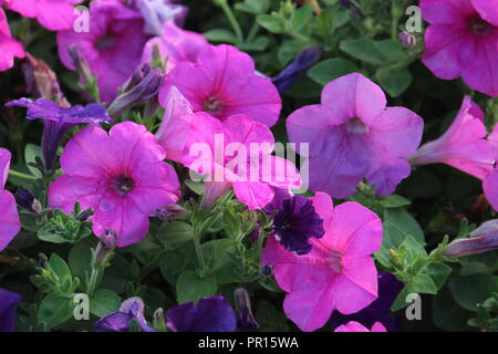 Pink million bells flowers - Stock Photo