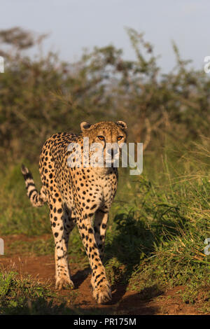 Cheetah (Acinonyx jubatus) female, Zimanga Private Game Reserve, KwaZulu-Natal, South Africa, Africa - Stock Photo