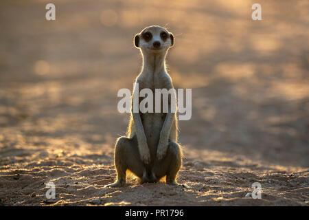 Meerkat (Suricata suricatta), Kgalagadi Transfrontier Park, South Africa, Africa - Stock Photo