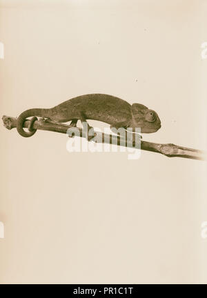 Chamaleon, 1900, Middle East - Stock Photo