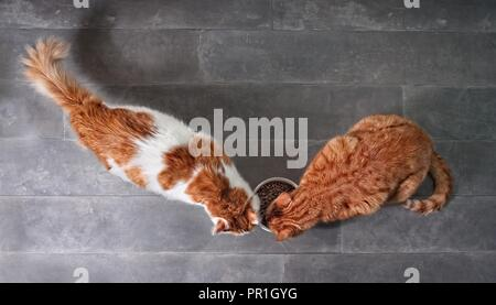 Two cute tabby cats eating together dry food from a white bowl seen from a high angle view on a stone background with copy space. - Stock Photo