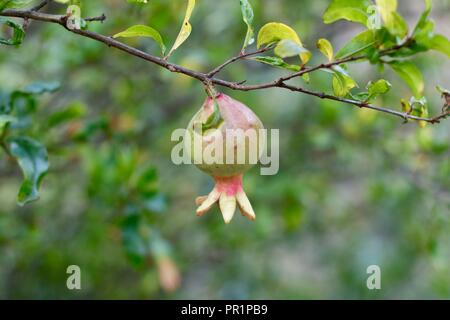 young pomegranate fruit on tree branch - Stock Photo