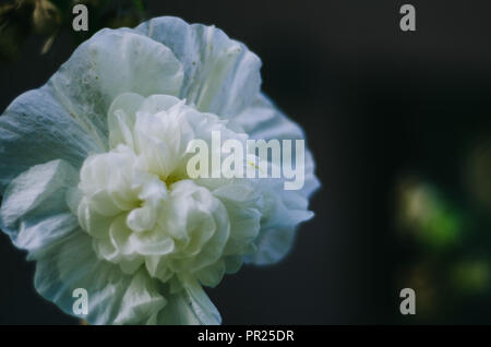 White flower macro on a dark spotted background with darkish colours. Simple full frame flower, very big. Stock Photo