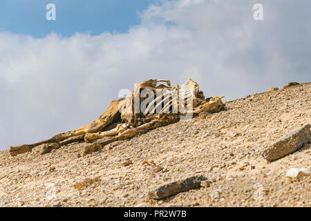 a complete camel carcass on a hillside in the negev desert still partially covered in the dessicated dry hide - Stock Photo