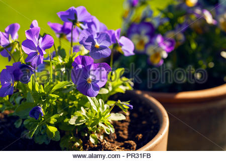 Pretty purple pansies in full bloom in evening light. They are Penny Blue Viola and grow well in part sun or full sun. - Stock Photo