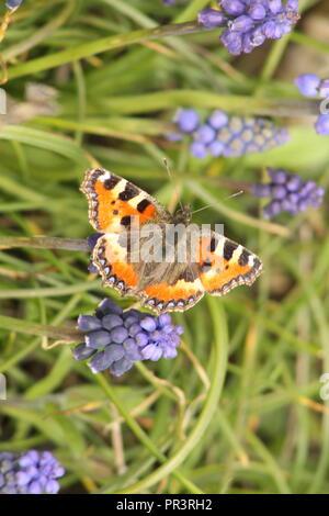 Small tortoiseshell (Aglais urticae) butterfly on grape hyacinth (Muscari armeniacum). - Stock Photo