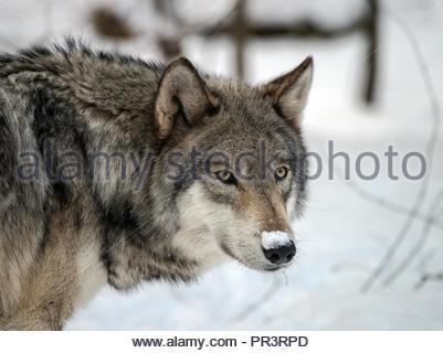 Timber Wolf (also known as a Gray Wolf or Grey Wolf) in the snow - Stock Photo