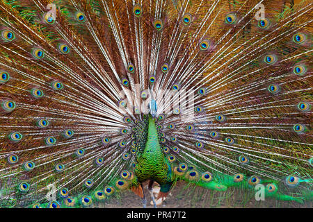 Portrait of wild male peacock with fanned colorful train. Green peafowl display tail with blue and gold iridescent feather. Bird plumage background - Stock Photo
