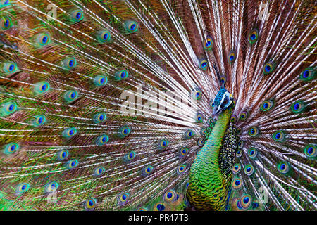 Portrait of wild male peacock with fanned colorful train. Green Asiatic peafowl display tail with blue and gold iridescent feather. Bird plumage - Stock Photo