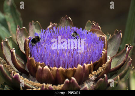 Bumble bees collecting pollen from a beautiful flowering artichoke - Stock Photo