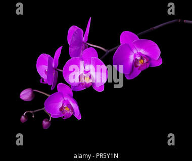 Pink flower of a phalaenopsis orchid with several buds on a branch, isolated on a black background - Stock Photo