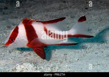 Red emperor snapper, Lutjanus sebae, Heron Island, Great Barrier Reef, Australia - Stock Photo