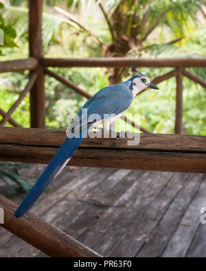 Backside of a white throated magpie jay sitting on a wooden railing - Stock Photo