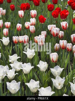 Tulip in Yuzhno-Sakhalinsk. Sakhalin island. Russia - Stock Photo