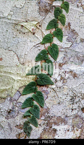 Clinging climbing vine on a rain forest tree trunk covered by lichens in the Danum Valley, Borneo. - Stock Photo
