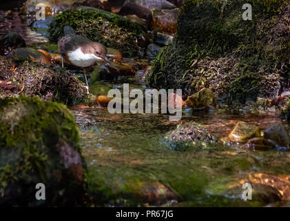 White throated or European dipper Cinclus cinclus hunting for caddis fly larvae and other insects in a river in the Brecon Beacons Wales UK - Stock Photo
