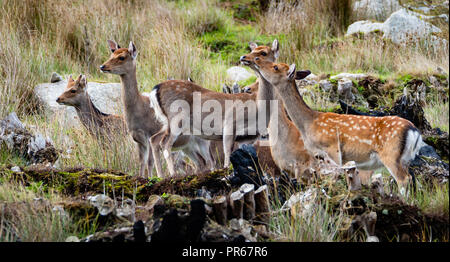 Sika deer Cervus nippon on the island of Lundy off the north coast of Devon UK - Stock Photo