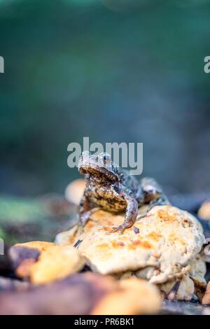 The common frog (Rana temporaria) on stump with yellow fungus wildlife photography - Stock Photo