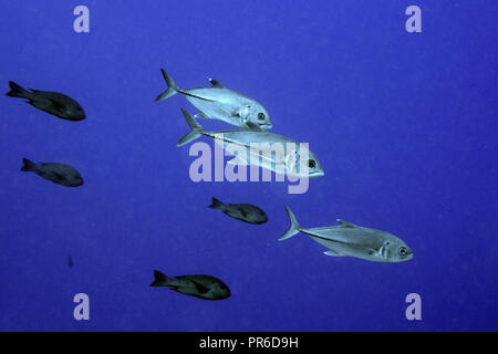School of bigeye trevally, Caranx sexfasciatus, and red snappers, Lutjanus bohar, Pohnpei, Federated States of Micronesia - Stock Photo