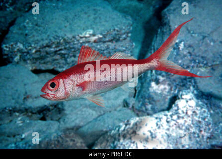 Etelis coruscans, Deepwater longtail red snapper, long-tailed form. Adults inhabit rocky bottoms of the continental shelf and continental slope from - Stock Photo