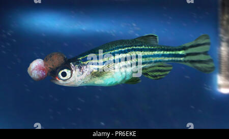Zebrafish, Danio rerio, with human cancer. Zebrafish are a powerful tool for studying human cancers. Transgenic techniques have been employed to model - Stock Photo