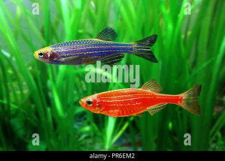 GloFish Zebrafish, Danio rerio, red and blue versions. Although not originally developed for the ornamental fish trade, it is one of the first - Stock Photo