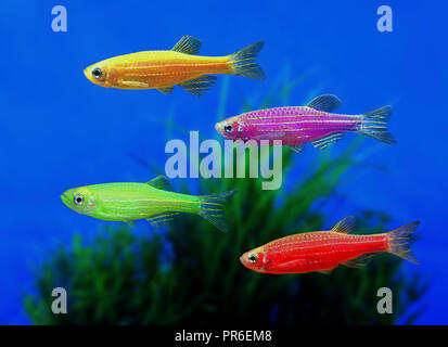 GloFish Zebrafish, Danio rerio, in diverse color versions. Although not originally developed for the ornamental fish trade, it is one of the first - Stock Photo