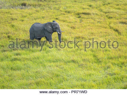 Aerial View of Large Male Elephant Walking Through the Tall Grasses on the Savannah in Botswana - Stock Photo