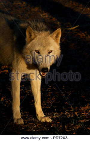 White Timber Wolf (also known as a Gray Wolf or Grey Wolf) standing in the golden last light of the day, surrounded by shadows - Stock Photo
