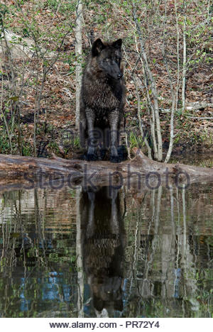 British Columbian Wolf Reflected in Pond - Stock Photo