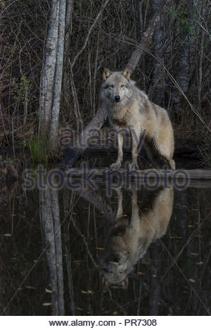 Gray Wolf Standing on a Log Reflected in a Pond - Stock Photo