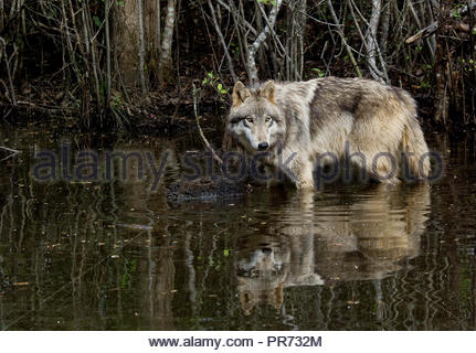 Gray wolf standing in a pond with reflection - Stock Photo