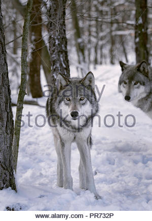Gray wolves in the snow - Stock Photo