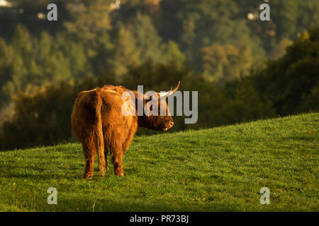 Scottish highland cow bull in field, Scotland UK - Stock Photo