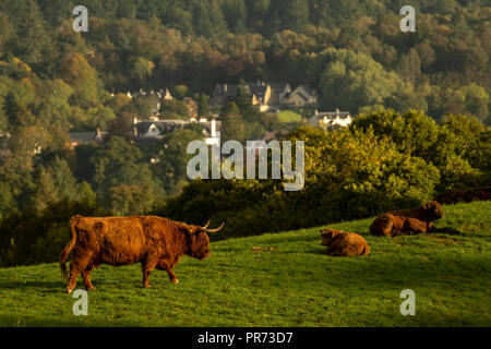 Scottish highland cows, bull, female and young in field, Scotland UK - Stock Photo