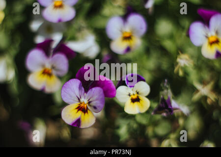 pansies in a garden - Stock Photo