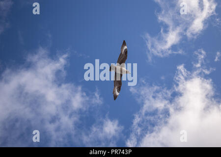 South Polar Skua flying against a slightly cloudy blue sky with wings spread wide gliding over head. - Stock Photo