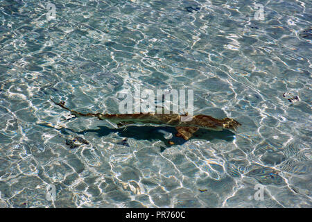 Blacktip reef shark, Carcharhinus melanopterus, swims in a shallow beach, Ant Atoll, Pohnpei, Federated States of Micronesia - Stock Photo
