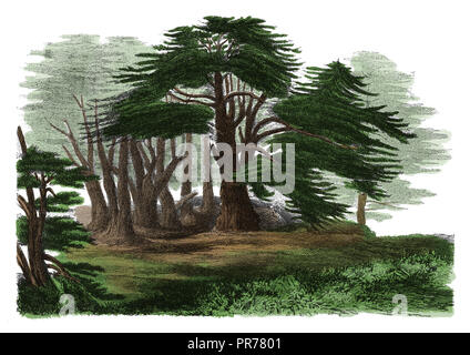 19th century illustration of Cedrus libani - a species of cedar native to the mountains of the Mediterranean region. Published in Systematischer Bilde - Stock Photo