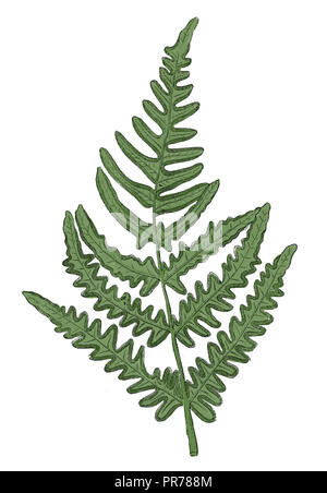 19th century illustration of a Pteridium aquilinum (bracken, brake or common bracken), also known as eagle fern, is a species of fern occurring in tem - Stock Photo