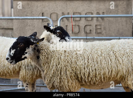 London, UK. 30th September 2018. The Worshipful Company of Woolmen Sheep Drive across London Bridge. Credit: Matthew Chattle/Alamy Live News - Stock Photo