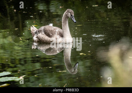 Oakham, UK. 30 September 2018. Dull cold autumn day for this young cygnets born late May one of two that hatched out of a batch of 8 eggs the cannel run by the local fishing club. The Oakham Canal ran from Oakham,  to Melton Mowbray, Leicestershire  opened in 1802 never a financial success, the cannel suffered from bad water supply, Credit: Clifford Norton/Alamy Live News - Stock Photo