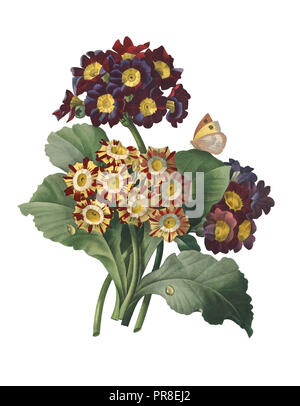 19th-century illustration of a Primula auricula, often known as auricula, mountain cowslip or bear's ear. Engraving by Pierre-Joseph Redoute. Publishe - Stock Photo