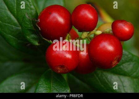Bunch of red ripe berries cranberries in green cowberry leaves in the morning sun - Stock Photo