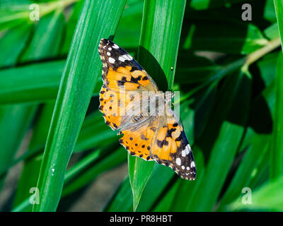 A painted lady butterfly rests on the large grass in a riverside park in central Kanagawa, Japan - Stock Photo