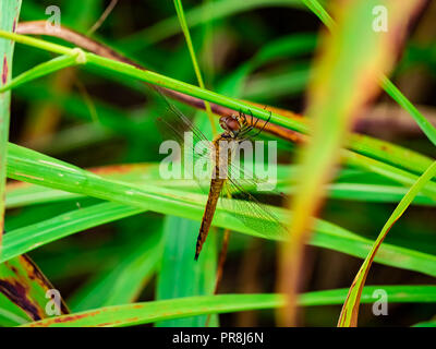 a female glider dragonfly sits perched on long grasses along a walking path in centeral Kanagawa, Japan. - Stock Photo
