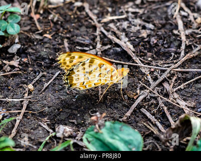 A painted lady butterfly rests on the ground near a pond in Gifu, Japan - Stock Photo